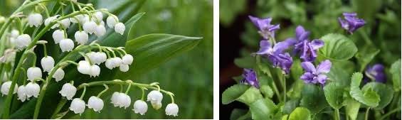aromes de muguet ou de violette